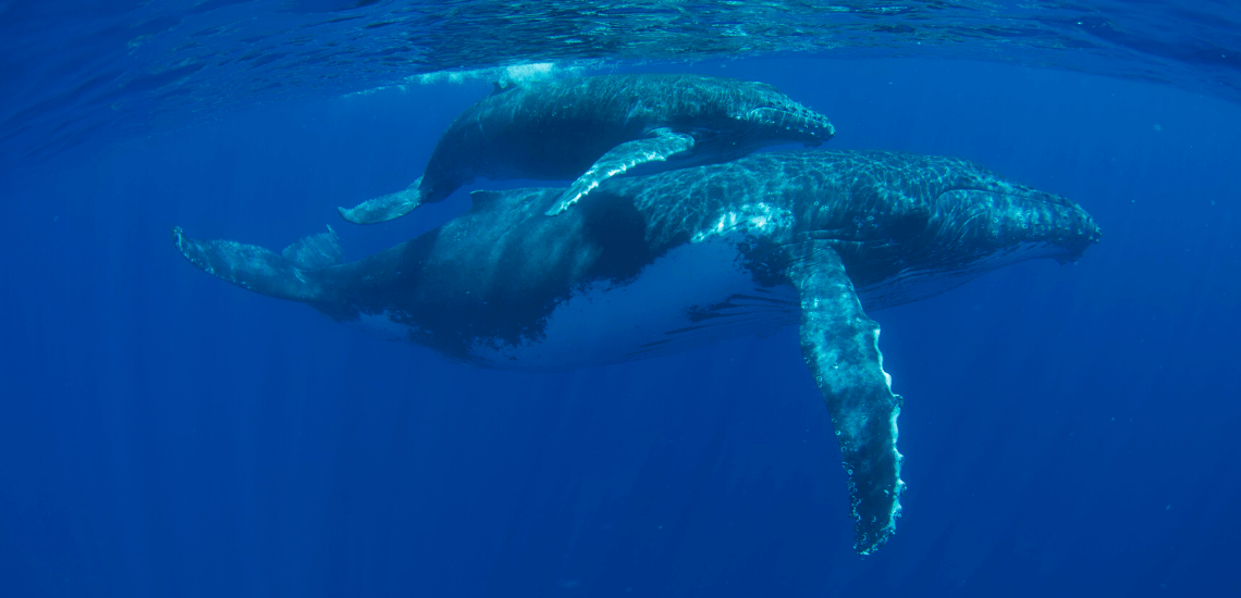 https://tahititourisme.cl/wp-content/uploads/2018/03/mooreaactivitiescenterwhaleswatching_1140x550-min.png