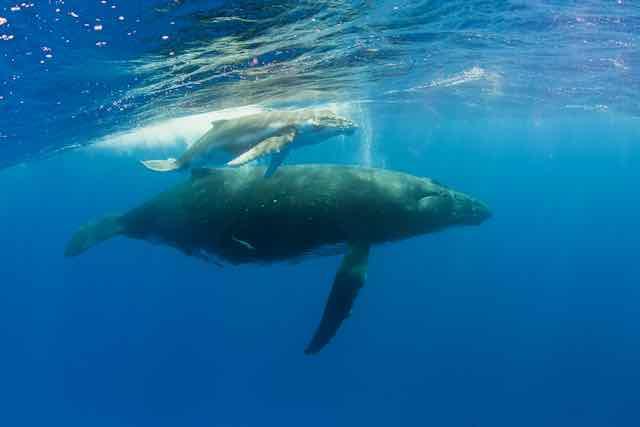 https://tahititourisme.cl/wp-content/uploads/2019/04/Bora-Bora-Humpback-Whales.jpeg