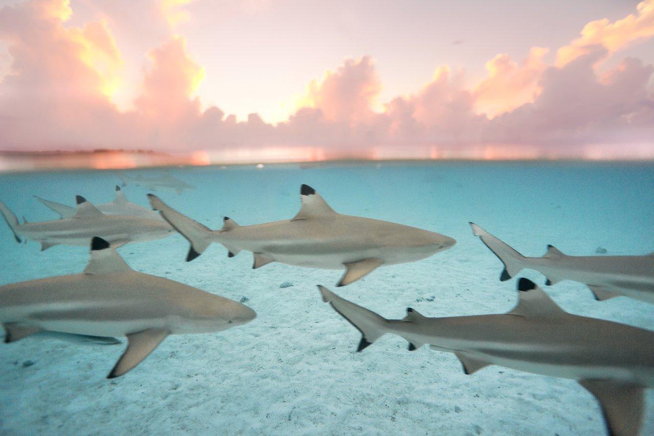 https://tahititourisme.cl/wp-content/uploads/2020/06/blacktip-reef-shark-sunset.jpg