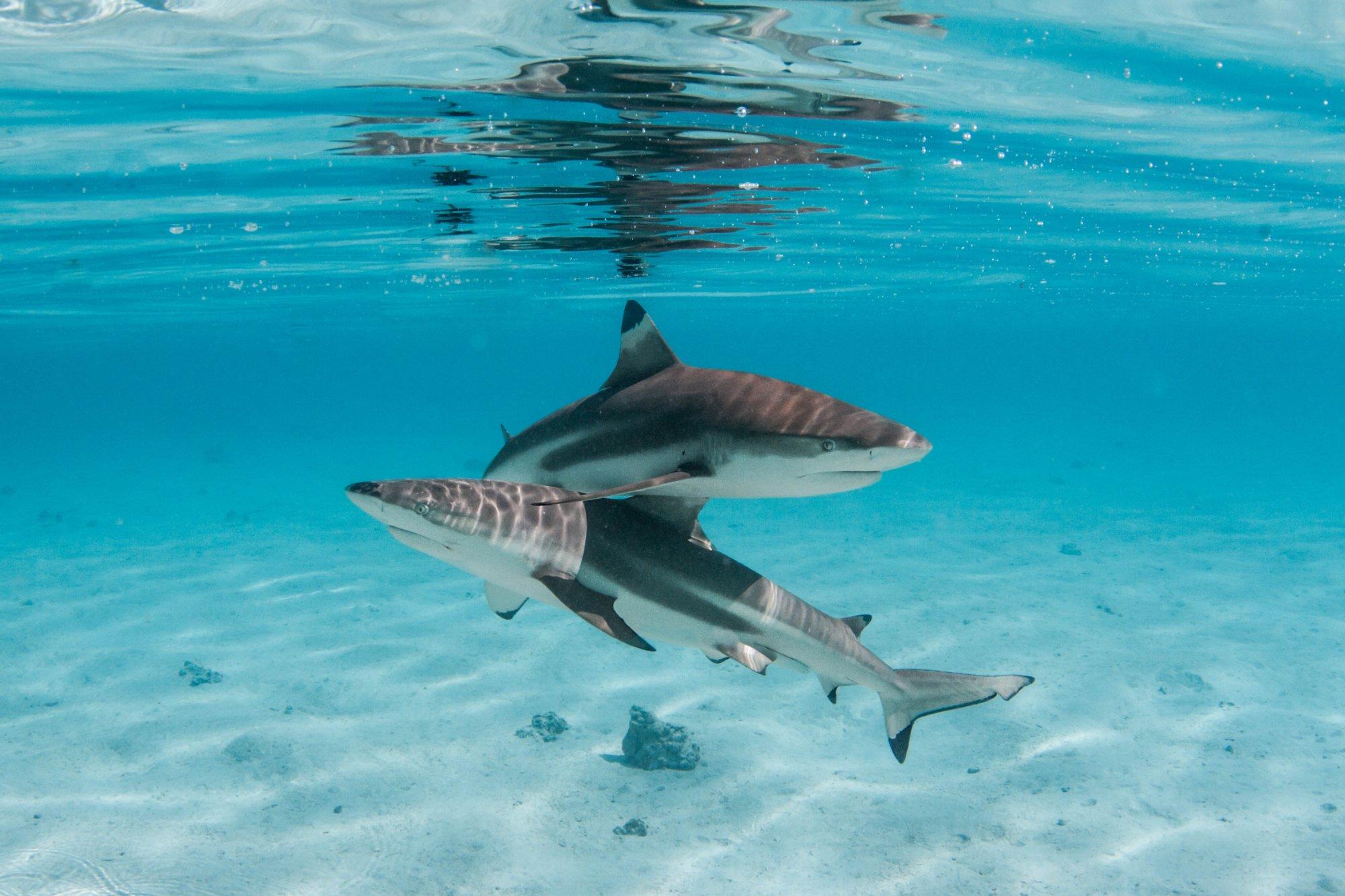 https://tahititourisme.cl/wp-content/uploads/2020/06/deux-magnifiques-requins.jpg
